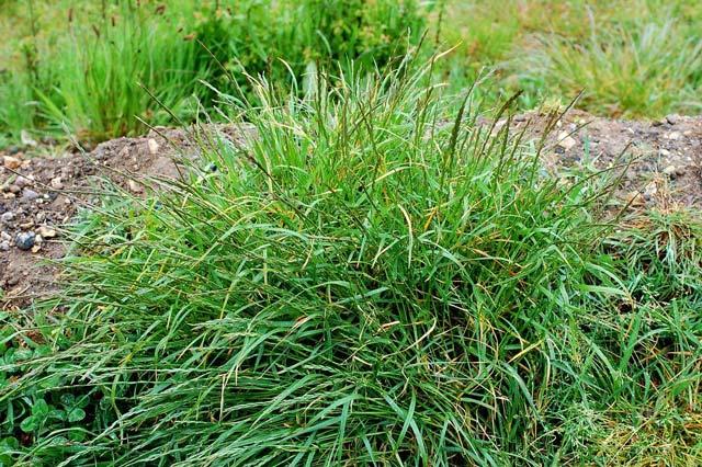 Пырей ползучий на влажной почве